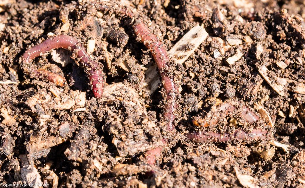 Râmele de culoare rosu-purpuriu au un rol important in procesul de compostare si in imbogatirea compostului cu nutrienti