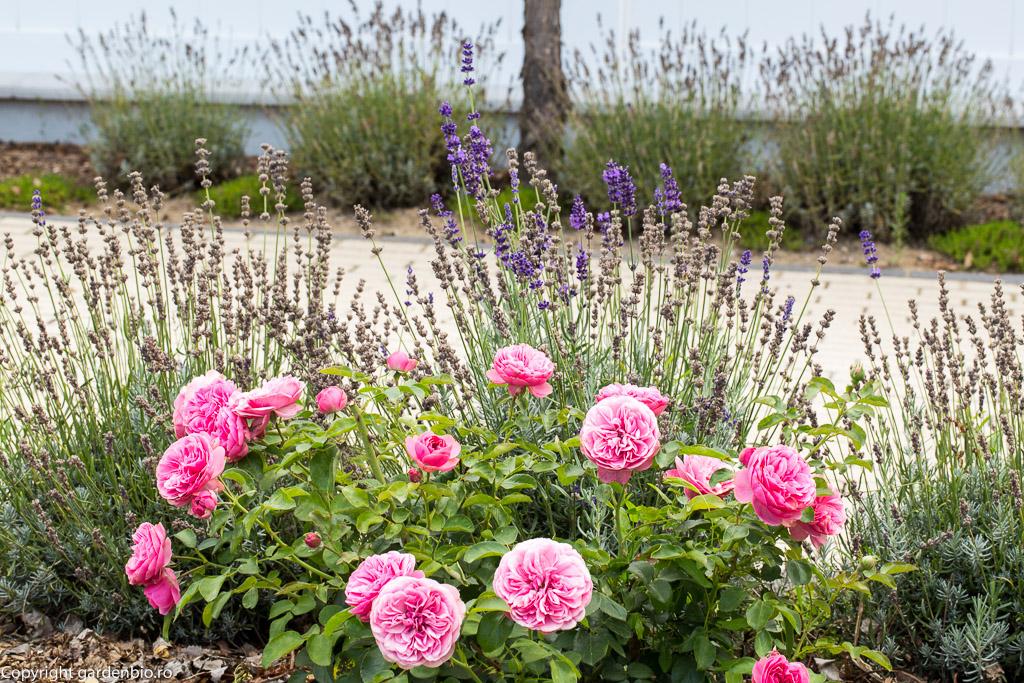 Lavanda un excelent companion pentru trandafiri - respinge afidele