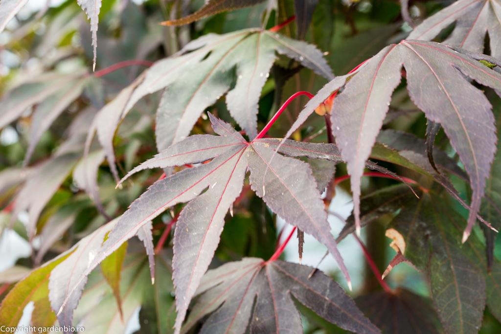 Frunze Acer Palmatum BLOODGOOD