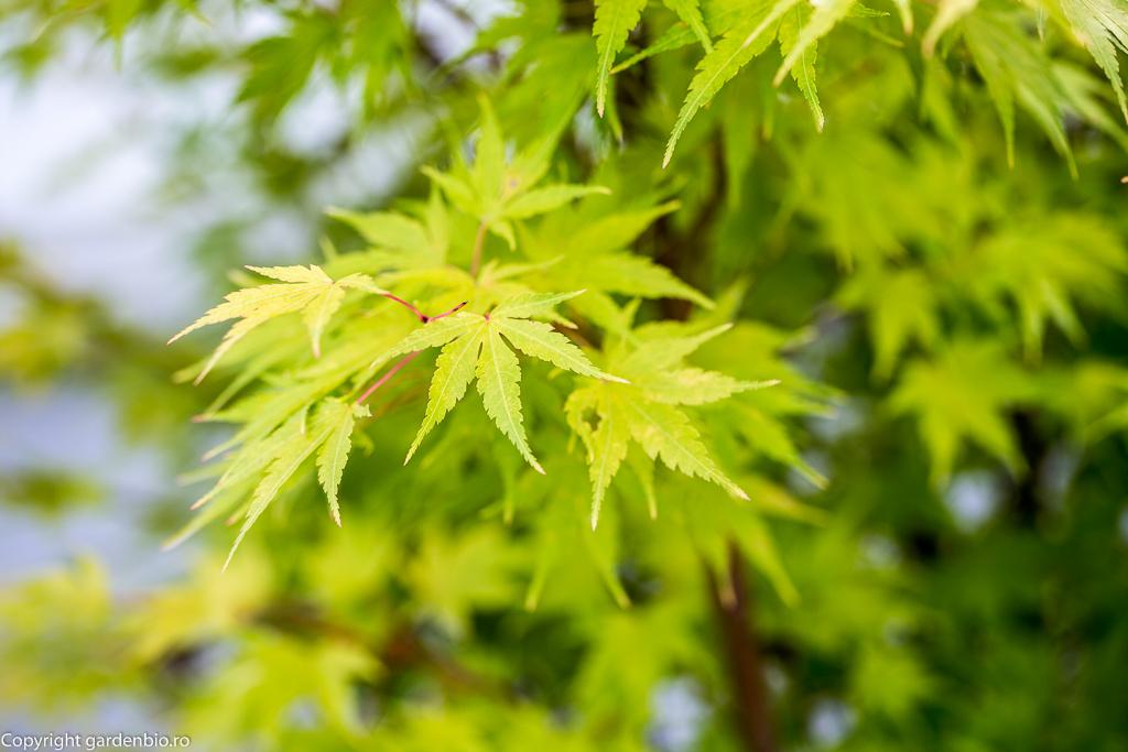 Frunze de Acer Palmatum Senkaki