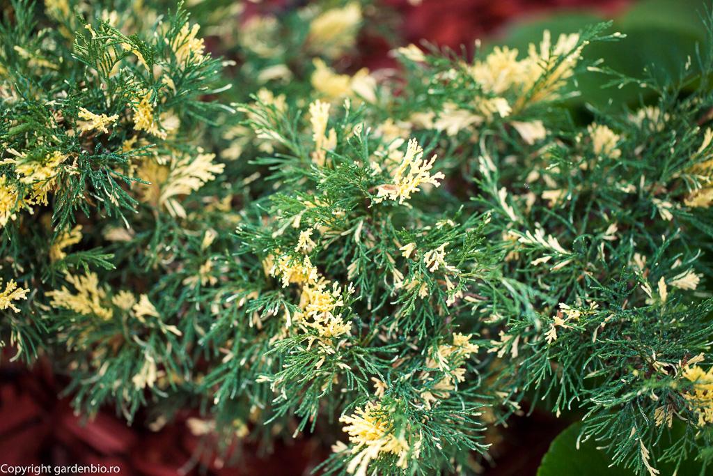 Coniferele trebuie plantate in soluri acide