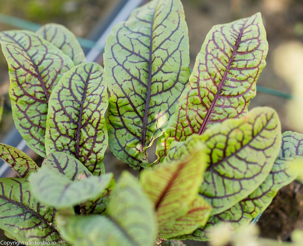 Macris Red Veined (Rumex scanguineus)