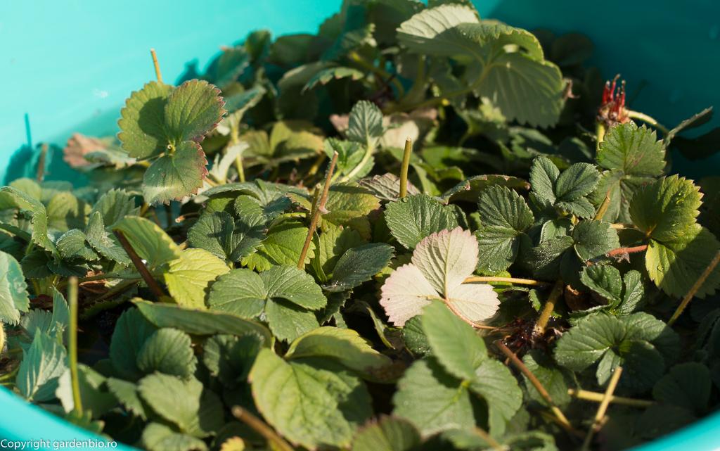 Stoloni de capsuni recoltati pentru inmultire in ghivece de plastic