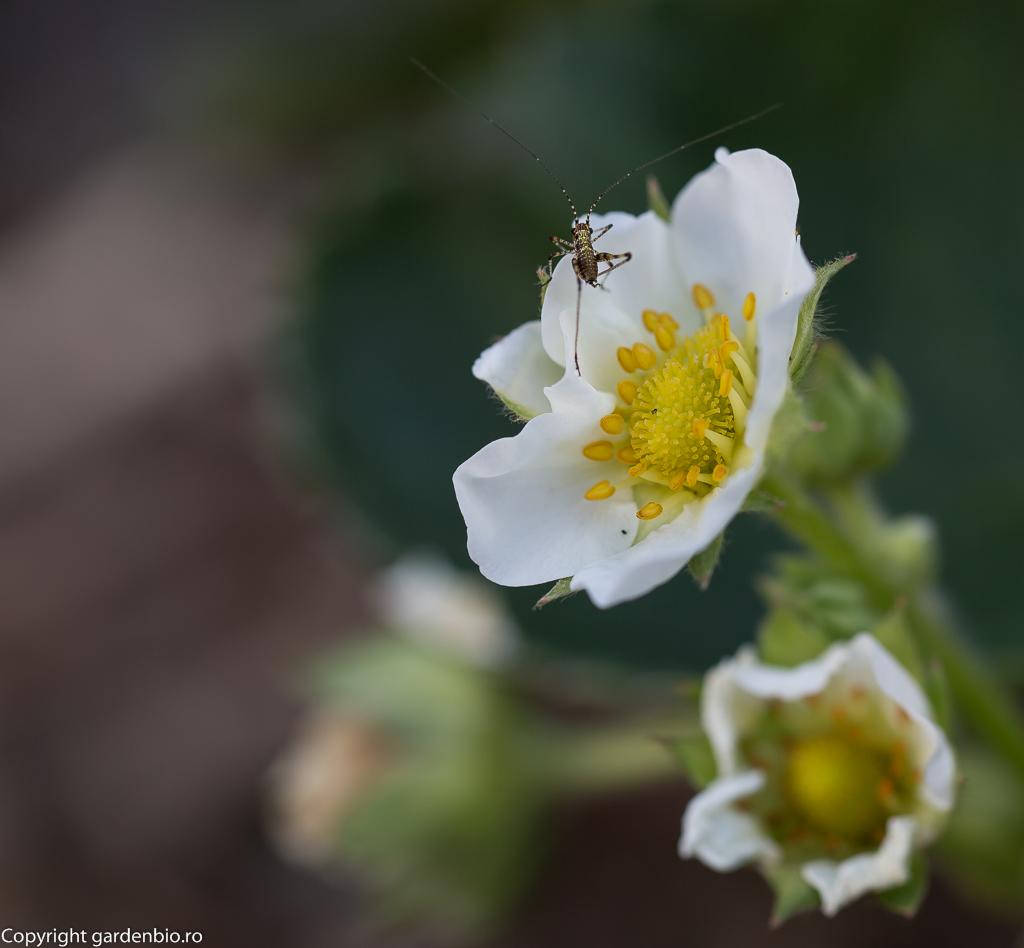 Alți polenizatori la florile de căpșuni