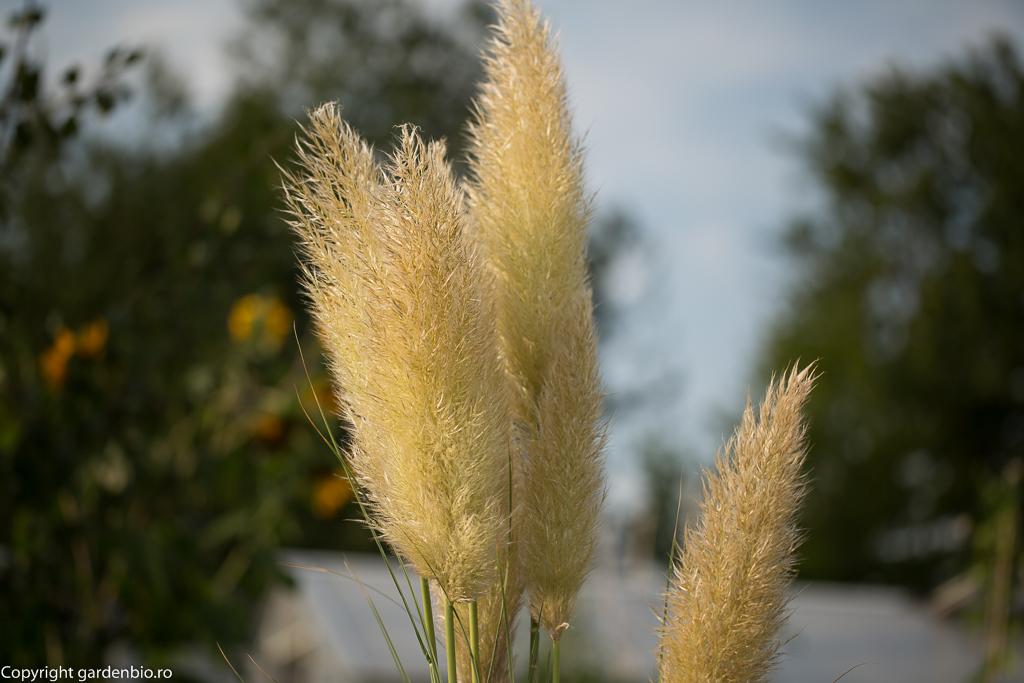 Iarba de Pampas infloreste superb toamna
