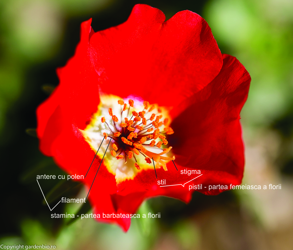Floare de portulaca