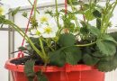Înmulțirea și cultivarea căpșunilor în seră