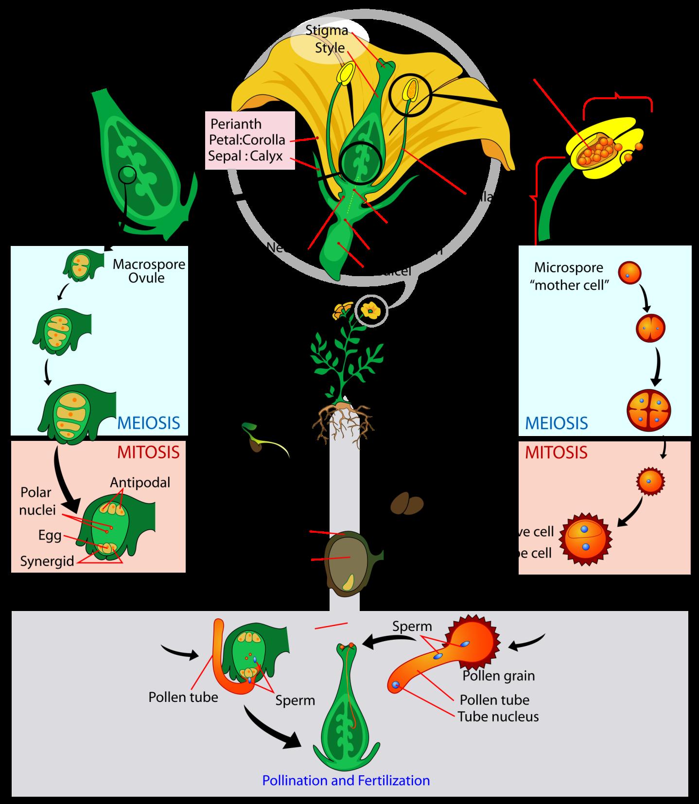 Procesul de polenizare si fecundare - sursa wikipedia