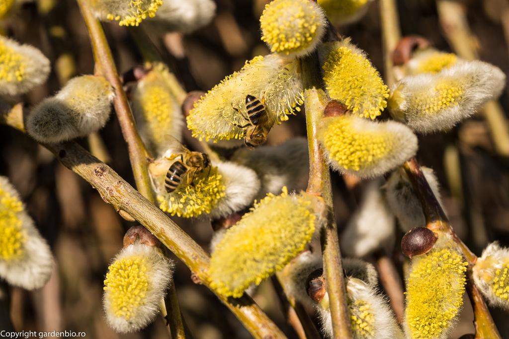 Printre primele surse de hrană pentru albine, din primăvară, sunt florile de salix caprea