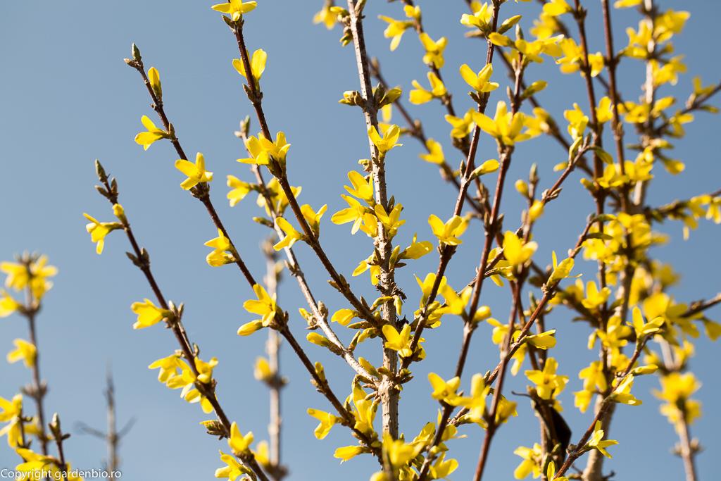 Forsythia (Ploaia de Aur)