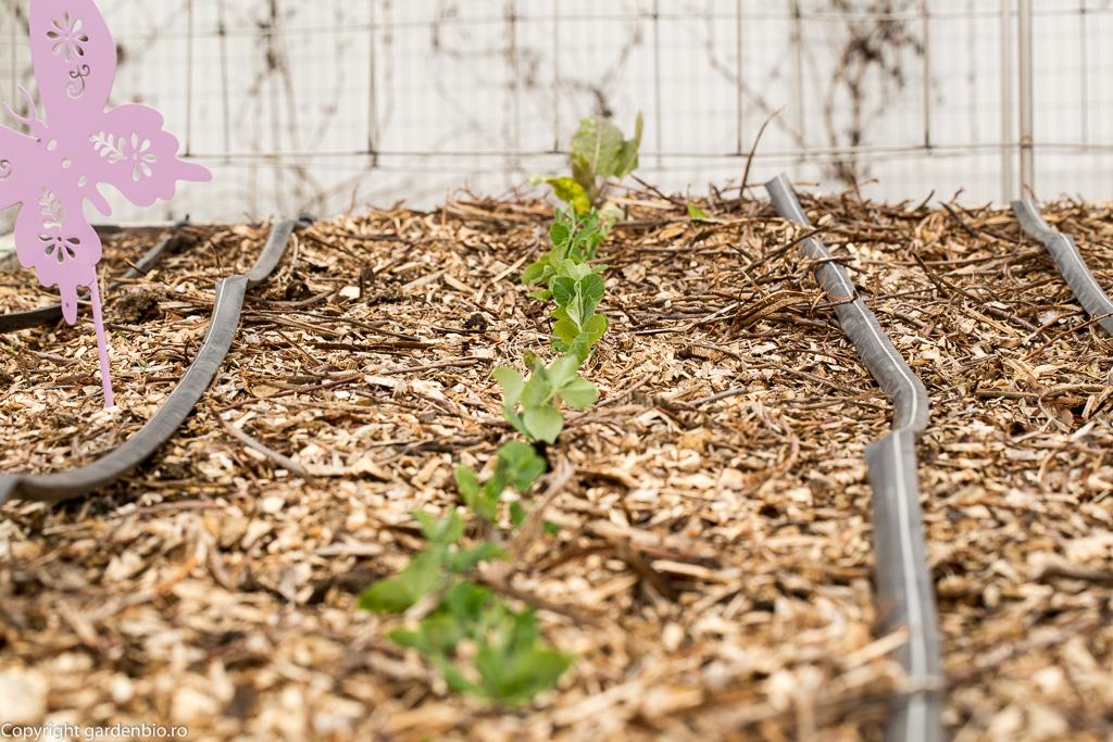 Mazare plantata in stratul din gradina printre cartofi