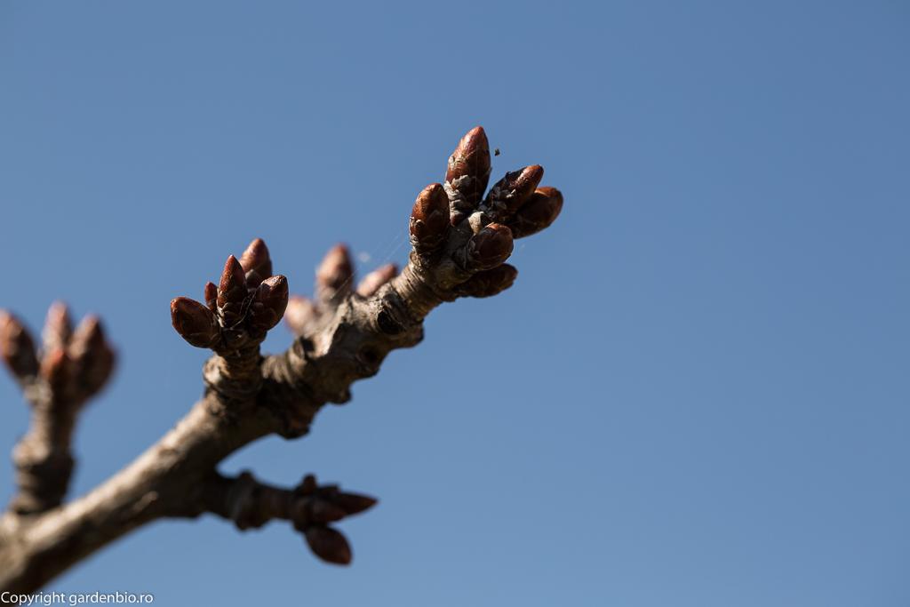 Muguri floriferi la cires