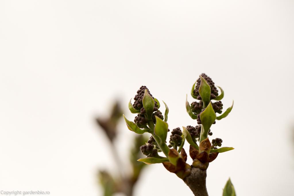 Se deschid primele flori de malin