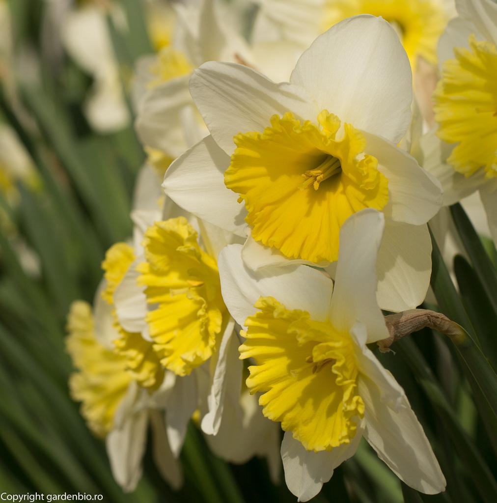 Narcise - soiul Narcissus Incomparabilis