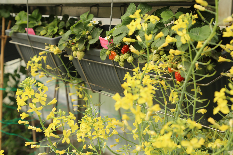 Florile de gulie Noriko vor produce silicve cu semințe