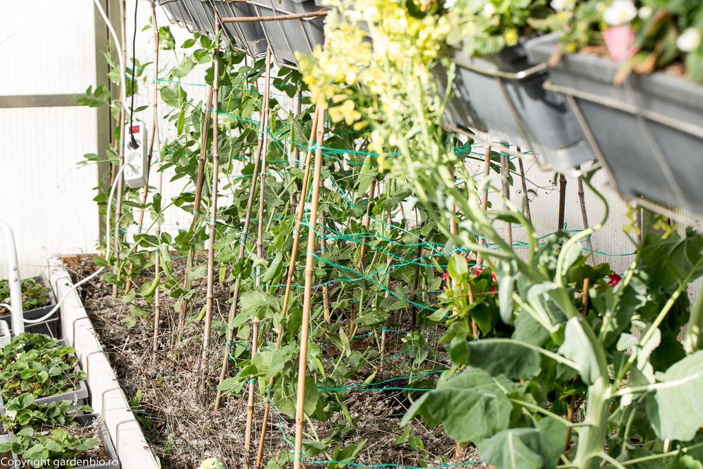 Mazare in stratul din sera la inceputul lunii aprilie - stratul l-am mulcit cu lavanda taiata din gradina pentru alungarea afidelor verzi