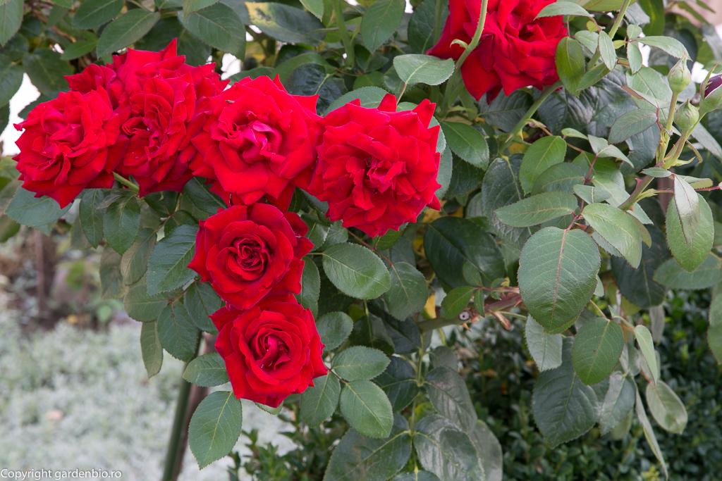 Trandafir pomisor