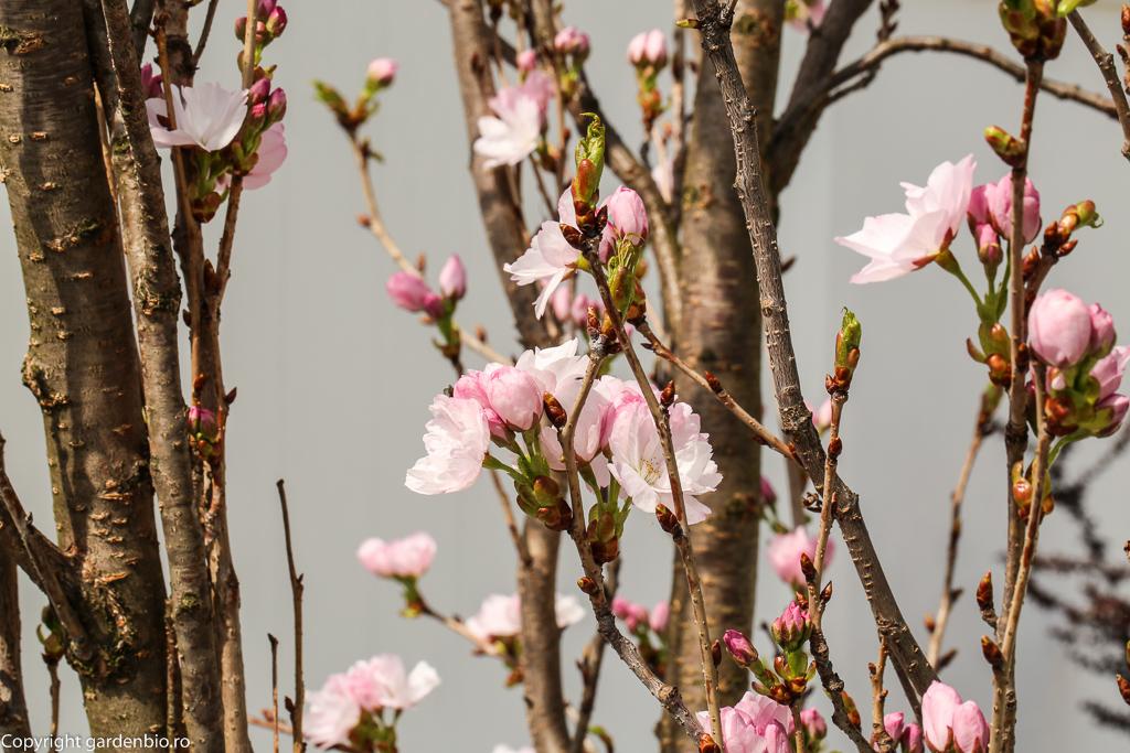 Primele flori de cires japonez