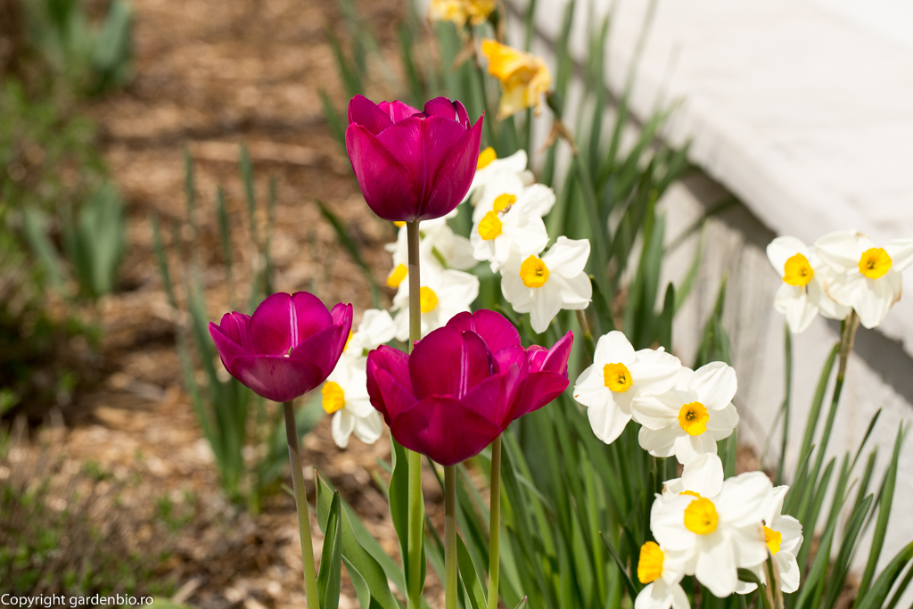 Narcise - Narcissus poeticus