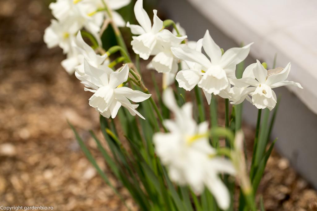 Narcise - Narcissus Thalia