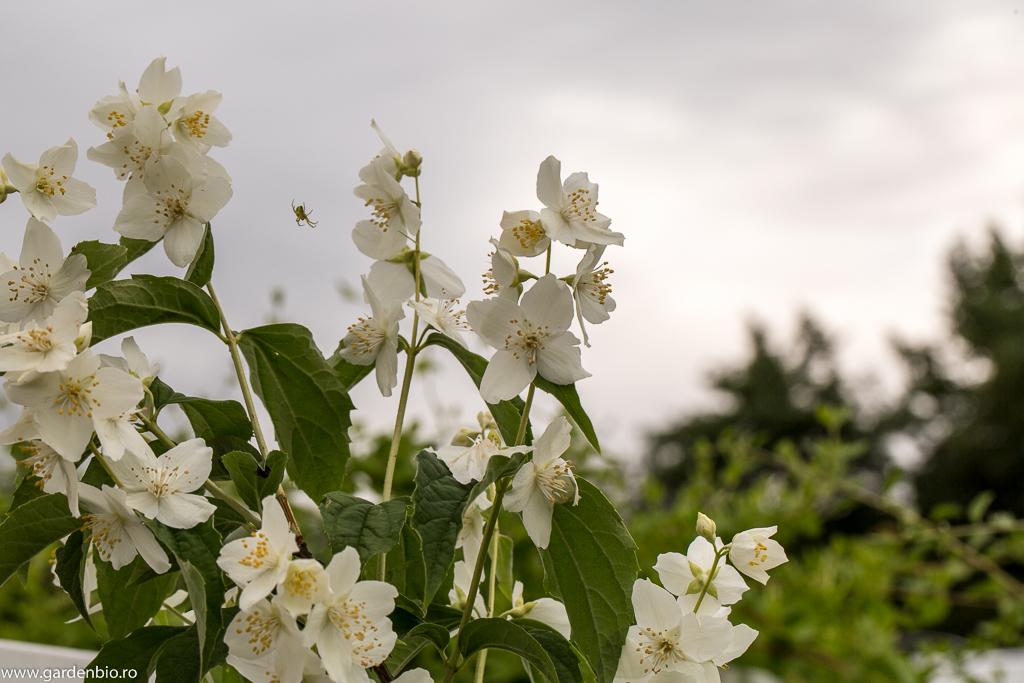 Lastarii de iasomie curatati de afide, infloresc si incep sa se dezvolte