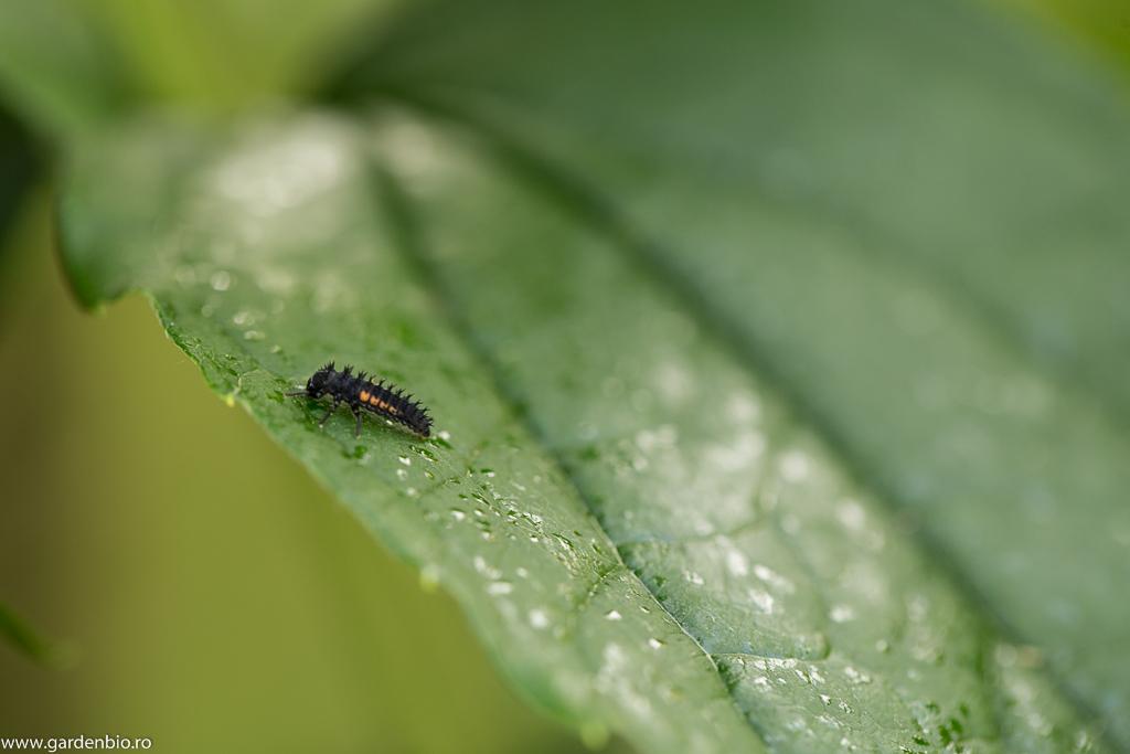 Larva de buburuza
