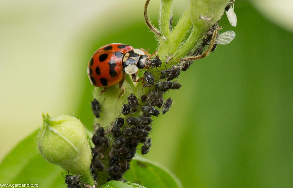 Buburuzele se hrănesc cu afide reducând semnificativ numărul acestora - furnicile nu mai sunt atrase astfel de mielat