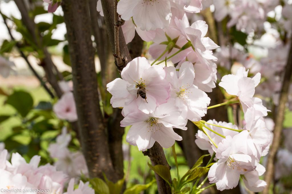 Florile de cires japonez - atractia albinelor