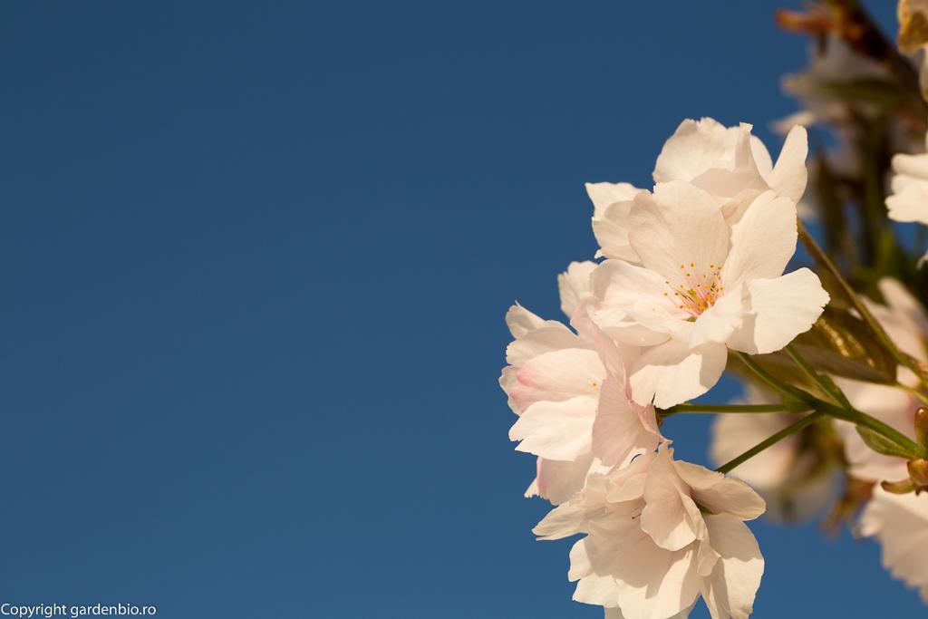 Flori de cires japonez