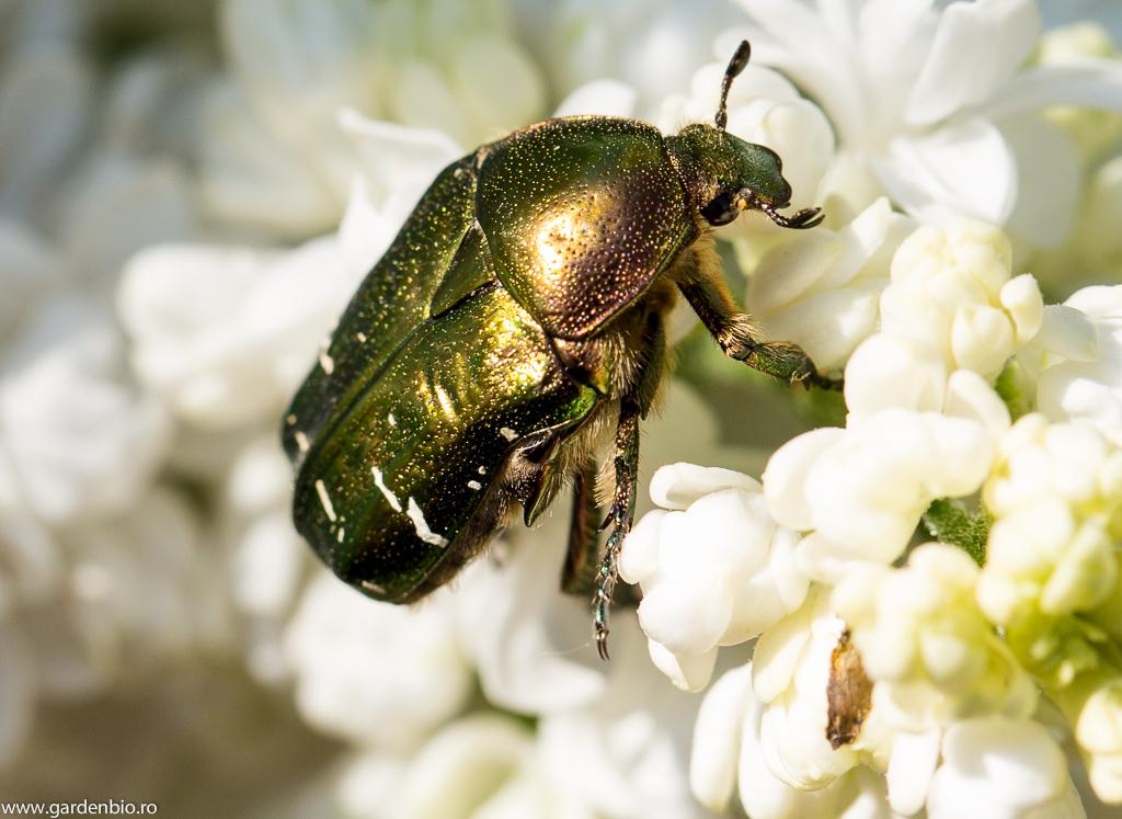 Gândacul Cetonia aurata polenizează florile plantelor