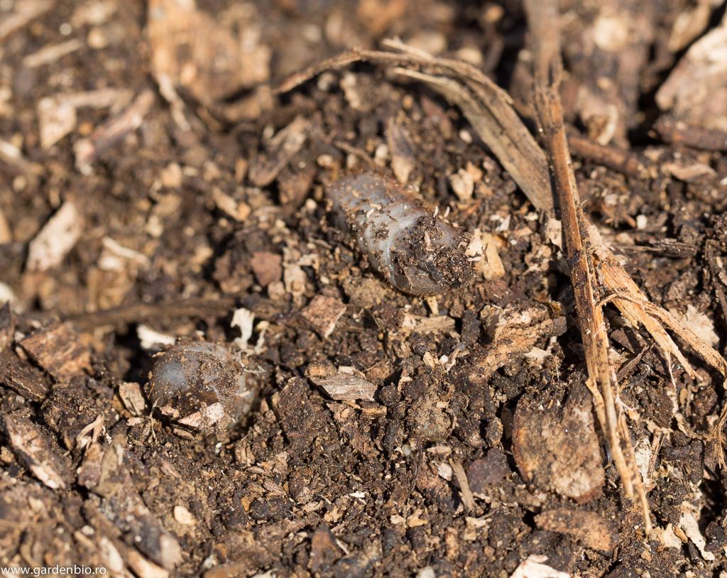 Larve de gandac Cetonia Aurata in compost