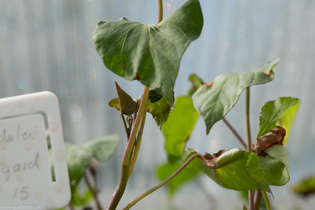 Lastar de cartof dulce Beauregard plantat in ghiveci