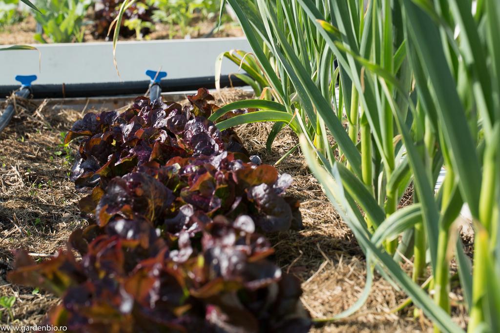 Salata Navarra - soi rezistent la temperaturi scăzute