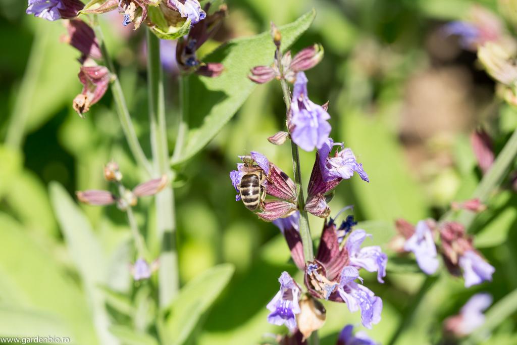 Salvia înflorită - o atracție pentru albine