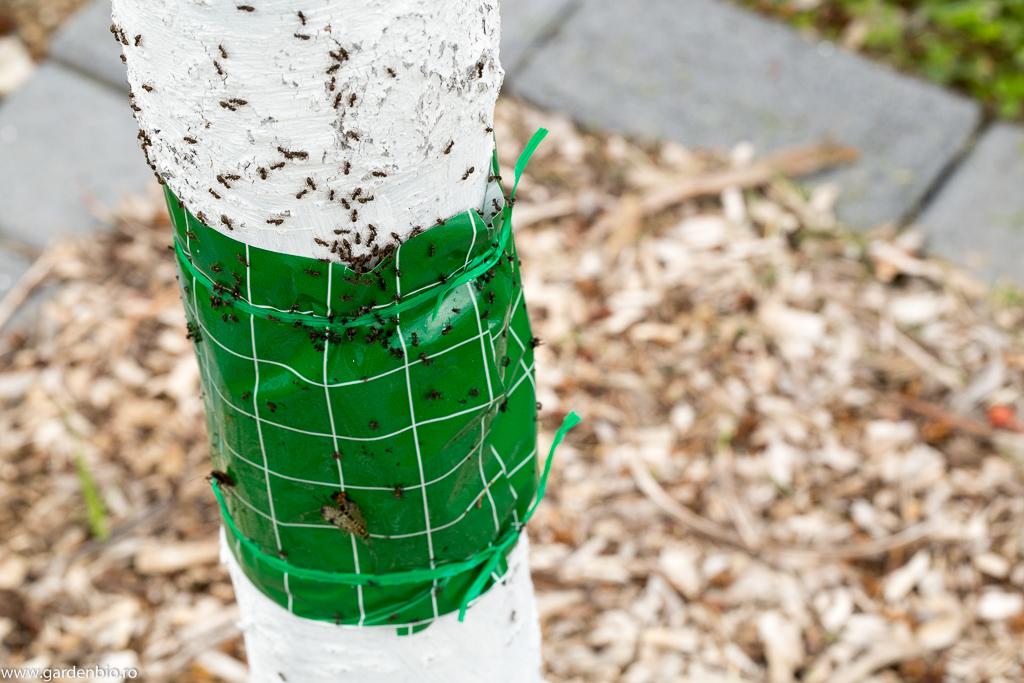 Bandă adezivă ecologică pentru stoparea furnicilor spre afidele din pom