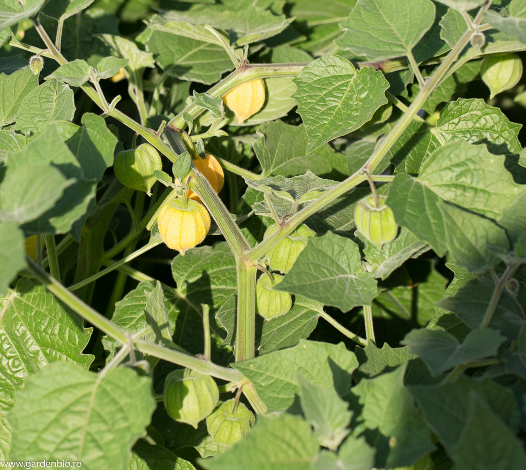 Fructe de Physalis peruviana