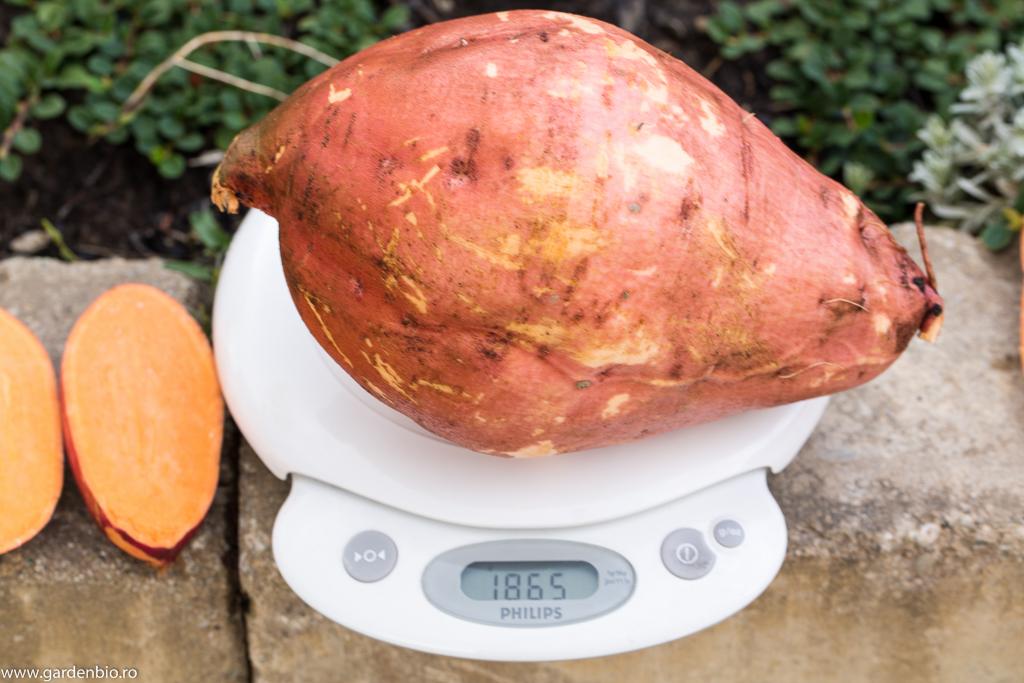 Cartof dulce gigant, soiul Beauregard - 1,86 kg