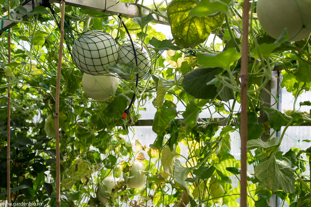 Pepeni galbeni suspendati in sera, soiurile Honeydew Green si Orange