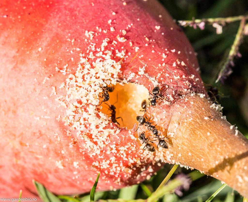Ospățul furnicilor la o pară