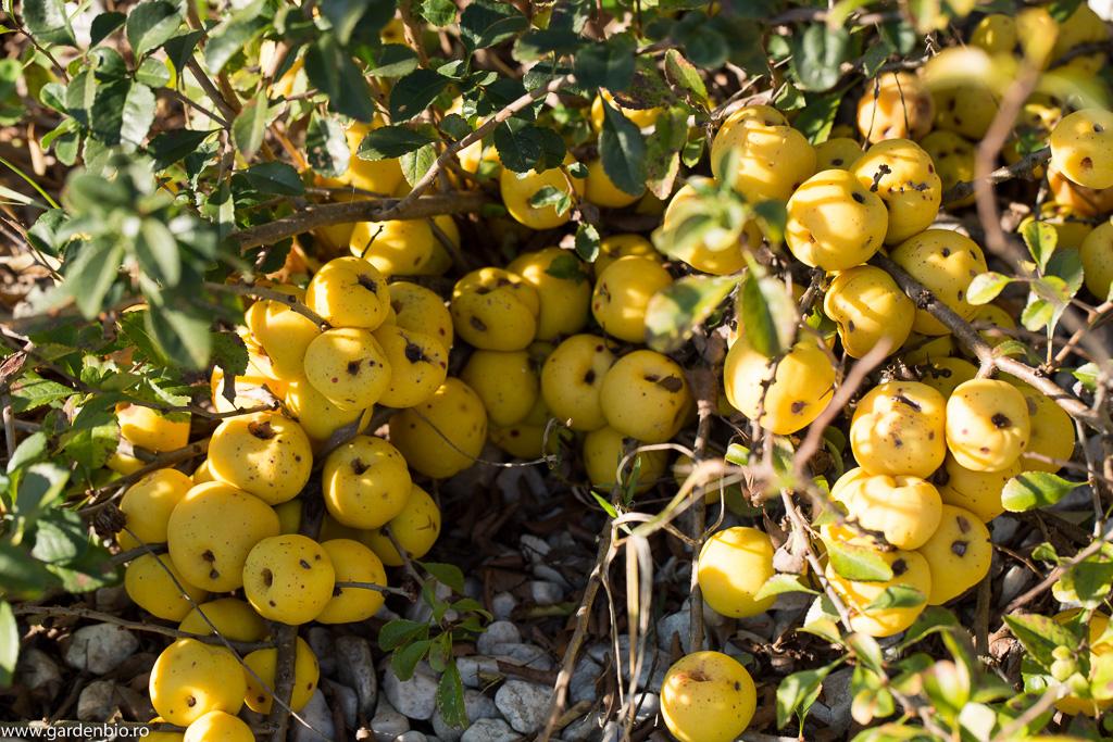 Gutuiul japonez - fructe de toamnă