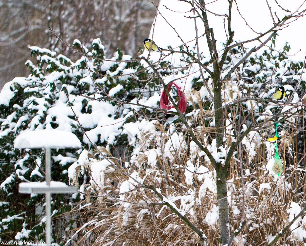 Grădina prinde viață în decorul hibernal - pitigoii (Parus major) iau o pauză pe ramurile copacului