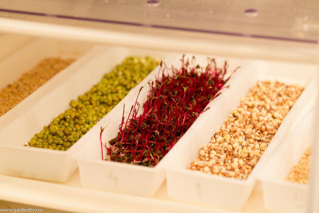 Fasole mung, germeni de sfeclă roșie și semințe de ridichi încolțite