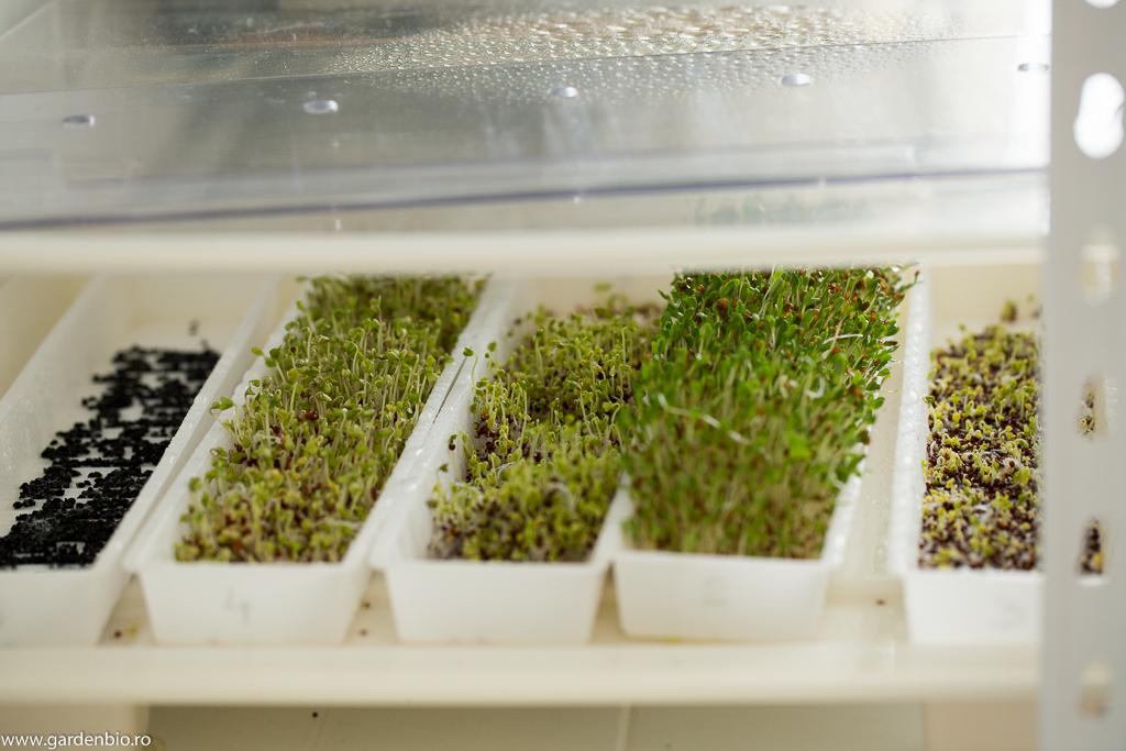 Germeni din semințe de lucernă și brocoli