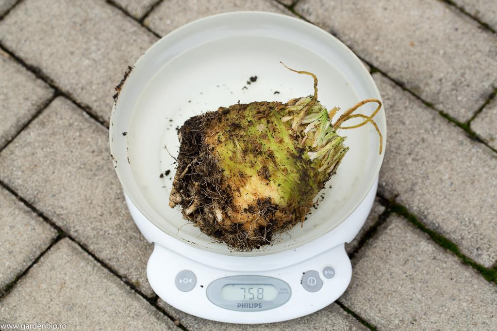 Țelină de 758 gr. fără frunze