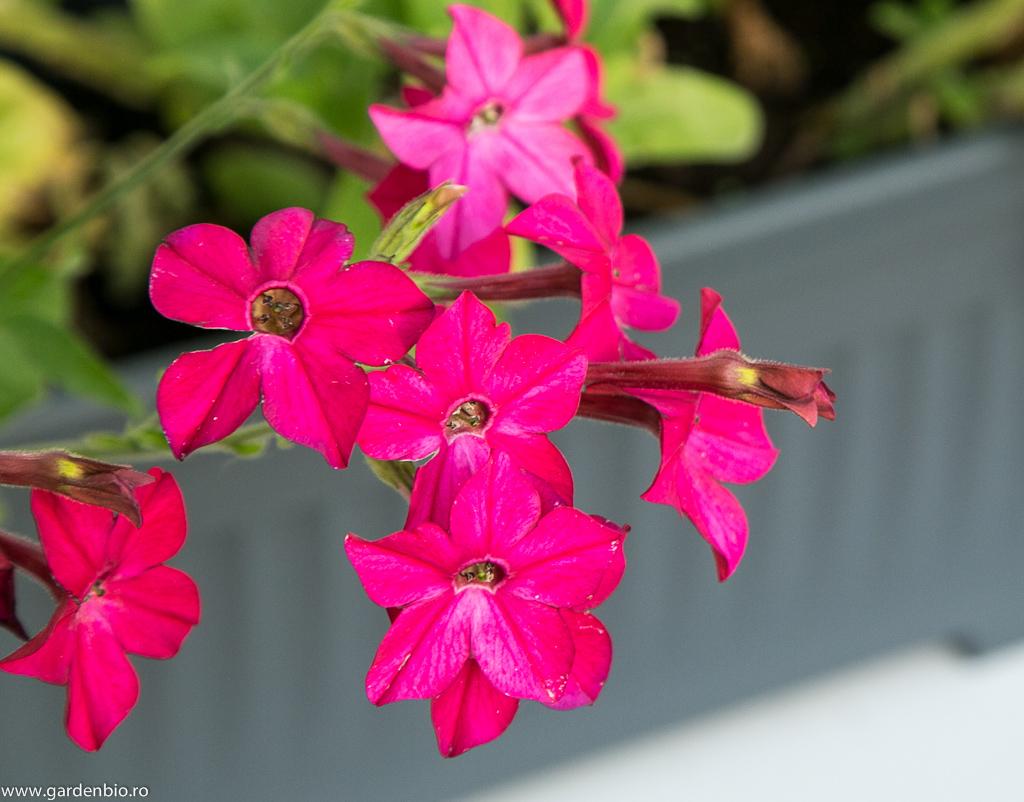Nicotiana hibrid roz