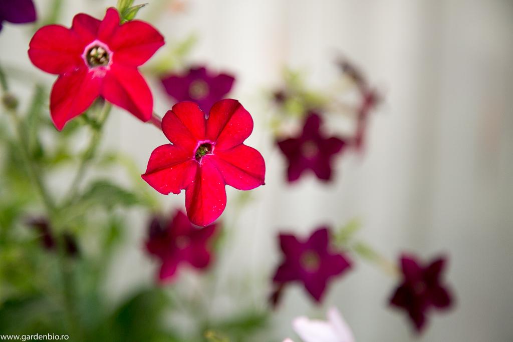 Nicotiana - soi hibrid nuanță roșu