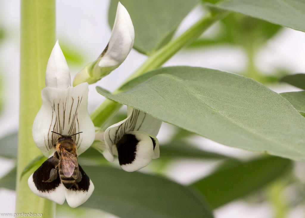 Albina culege pe piciorușe polenul florilor de fasole fava, asigurând în același timp polenizarea