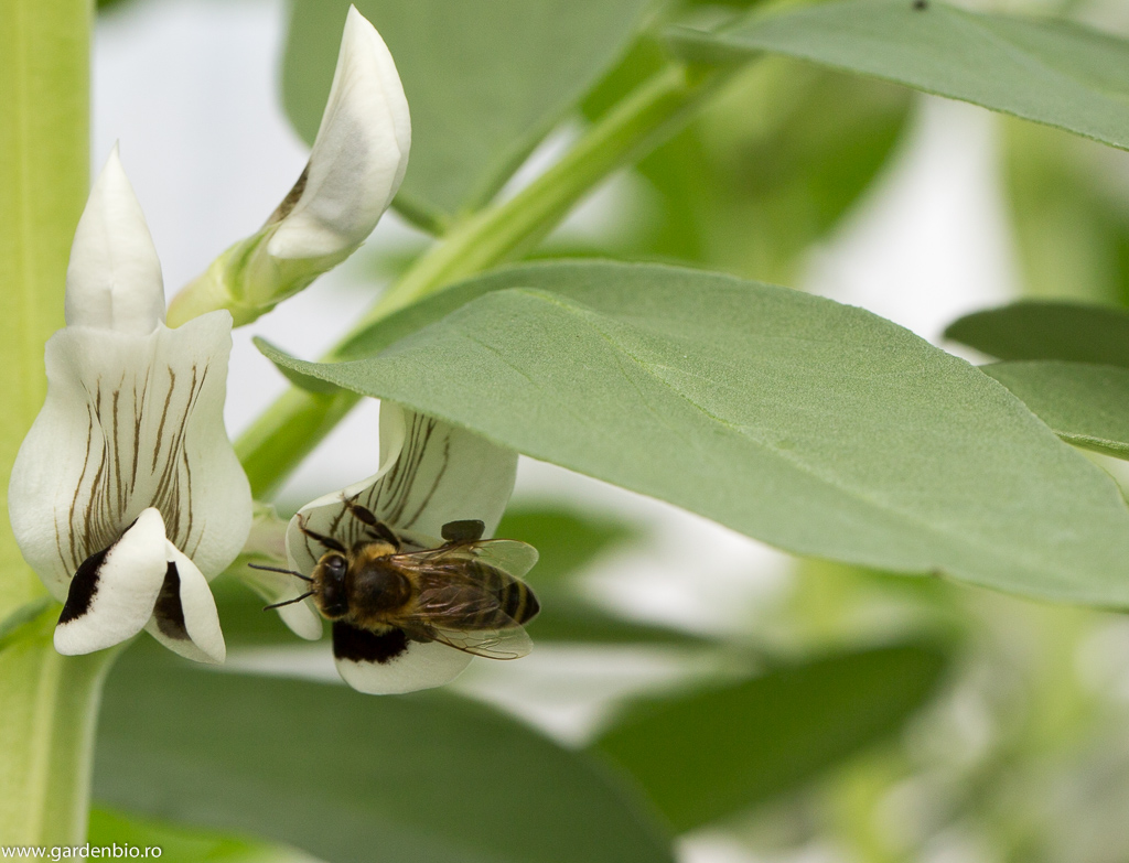 Albina culege polenul din flori de fasole fava