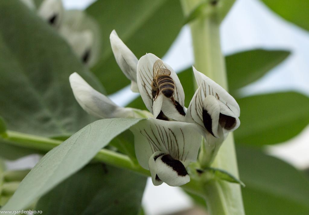 Albina se străduiește să deschidă floarea de fasole fava și să ajungă la prețiosul polen