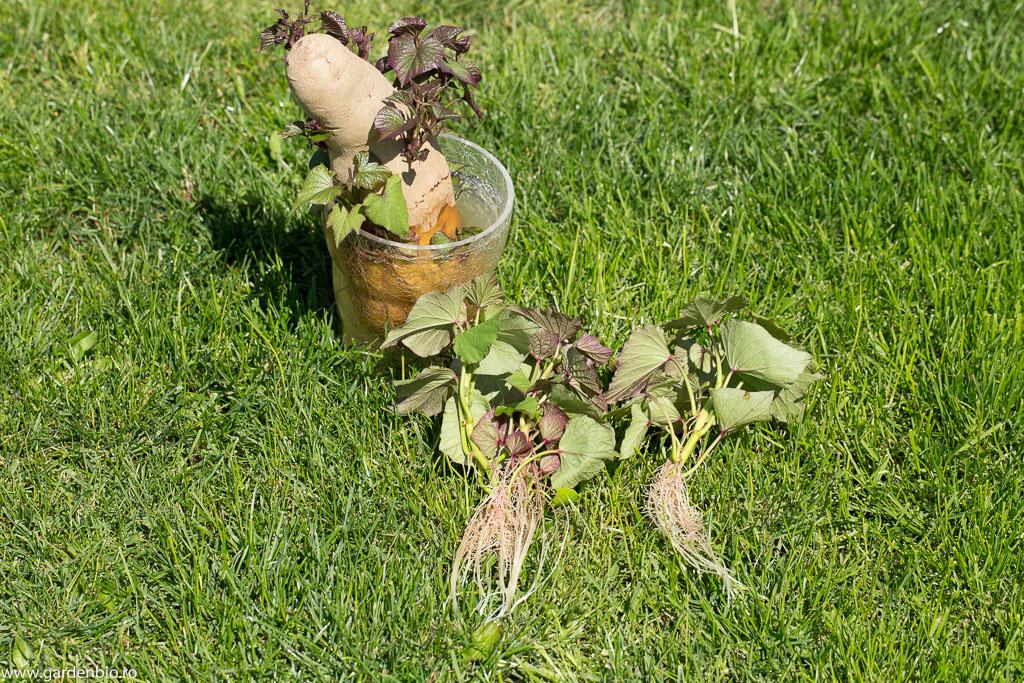 Lăstari de cartofi dulci cu rădăcini formate